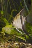 akwarium ryb Fotografia Stock