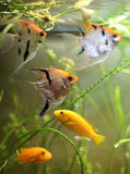 Akwarium ryba. Zdjęcie Stock