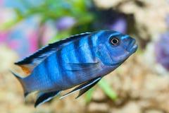 Akwarium ryba Zdjęcia Stock