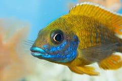 Akwarium ryba Fotografia Royalty Free