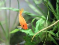 Akwarium ryba. Fotografia Stock