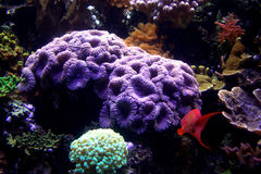 Akwarium ryba & koral Fotografia Royalty Free