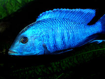 Akwarium ryba od Afryka Zdjęcie Royalty Free