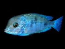Akwarium ryba od Afryka Fotografia Royalty Free
