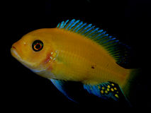 Akwarium ryba od Afryka zdjęcia royalty free