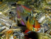Akwarium ryba od Ameryka Południowa akwarium cichlid ryba słodkowodny microgeophagus baranu ramirezi zdjęcie stock