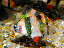 Akwarium ryba od Azja Puntius tetrazona zdjęcie stock
