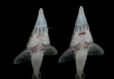 Akwarium ryba od Azja Sterletowy zdjęcia stock