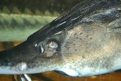 akwarium ryba profilu pojedynczy dopłynięcie Obrazy Stock