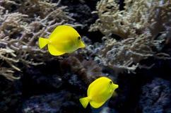 Akwarium rybi Żółty chirurg Zdjęcia Stock
