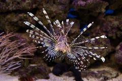 Akwarium rybi lionfish Obrazy Royalty Free