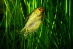 Akwarium Rybi Złoty gourami Obrazy Royalty Free