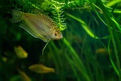 Akwarium Rybi Złoty gourami Zdjęcie Stock