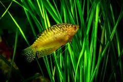 Akwarium Rybi Złoty gourami Fotografia Royalty Free