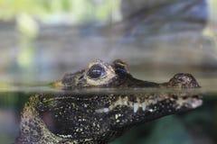 Akwarium ` s krokodyl Zdjęcie Royalty Free