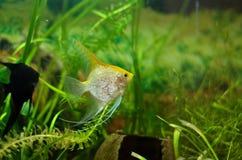 Akwarium Scalare rybi unosić się w wodzie Fotografia Stock