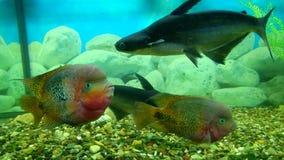 Akwarium z cztery dużą ryba Pangasianodon hypophthalmus i Cichlasoma synspilum zdjęcie wideo