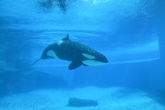 Akwarium zabójcy wieloryb Zdjęcia Royalty Free