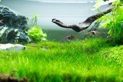 Akwarium Zielona trawa Obrazy Stock
