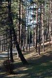 Aléia das árvores de pinho Fotografia de Stock