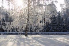 Aléia das árvores de vidoeiro do inverno Imagem de Stock