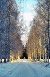 Aléia de Birche no parque do inverno Imagem de Stock