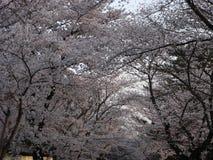 Aléia de Sakura Foto de Stock