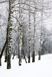 Aléia do inverno do vidoeiro Fotos de Stock