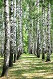 Aléia no bosque do vidoeiro de julho Foto de Stock