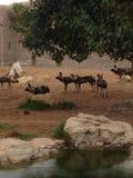 Al Ain dierentuin Royalty-vrije Stock Afbeelding