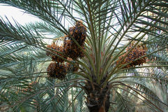 Al Ain Oasis Royalty Free Stock Images