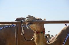 Al Dhafra Camel Festival in Abu Dhabi Fotografie Stock Libere da Diritti