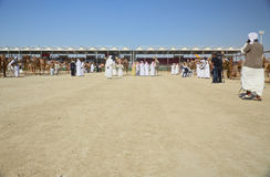 Al Dhafra Camel Festival in Abu Dhabi Fotografia Stock