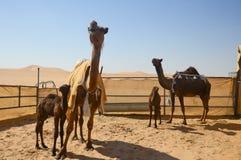 Al Dhafra Camel Festival in Abu Dhabi Fotografia Stock Libera da Diritti