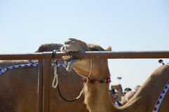 Al Dhafra Camel Festival in Abu Dhabi. Camel biting metal pipe of aviary at Al Dhafra Camel Festival in  Al Gharbia, Abu Dhabi, UAE Royalty Free Stock Photos