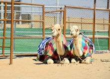 Al Dhafra Camel Festival in Abu Dhabi. Two camels at Al Dhafra Camel Festival in Al Gharbia, Abu Dhabi, UAE Royalty Free Stock Photos