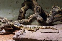 Al este lagarto espinoso-atado africano imagen de archivo