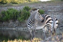 Al foro di innaffiatura: Zebre del ` s di Heartman fotografia stock libera da diritti