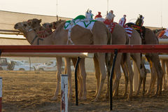 Al Marmoum Camel race track Stock Photography