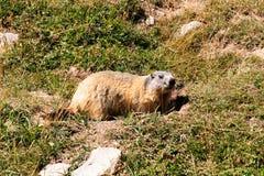 Al mirar hacia fuera la marmota imagenes de archivo