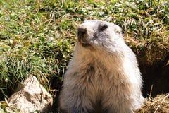 Al mirar hacia fuera la marmota fotografía de archivo