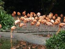 Al mooiste dierentuin van de de dierenlevensstijl van Flamingovogels natuurlijke in Singapore Stock Foto's