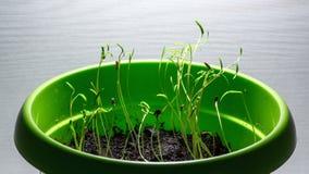 Al rallentatore dei germogli crescenti, piante dell'aneto archivi video