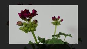 Al rallentatore di fioritura dei fiori stock footage