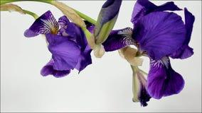 Al rallentatore di fioritura dei fiori archivi video