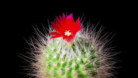 Al rallentatore di fioritura dei fiori del cactus stock footage
