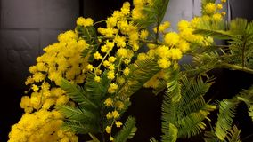 Al rallentatore di fioritura dei fiori della mimosa video d archivio