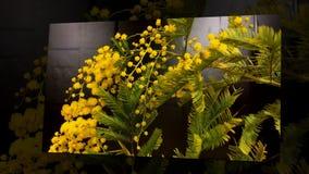 Al rallentatore di fioritura dei fiori della mimosa archivi video