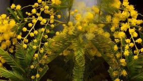 Al rallentatore di fioritura dei fiori della mimosa stock footage