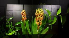 Al rallentatore di fioritura dei fiori di orientalis di hyacinthHyacinthus video d archivio